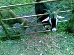 Goatee Devotee